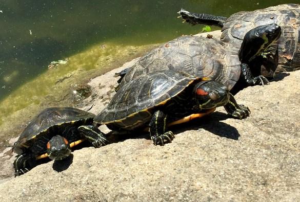 Turtles at Casa de Fruta Orchard Resort