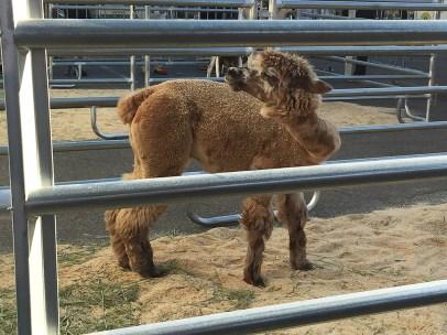 Circus Alpaca Animal Open House