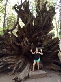 Giant Sequoia Tree Roots