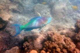 Tropical Rainbow Fish, Snorkeling on the Big Island of Hawaii