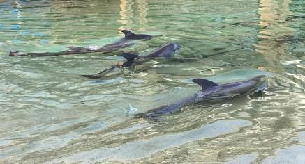 Dolphins at the Hilton Waikoloa Village