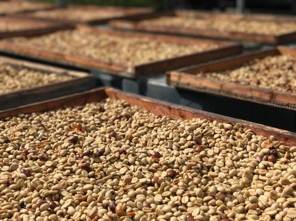 Kona Coffee Beans Drying at Hula Daddy Kona Coffee