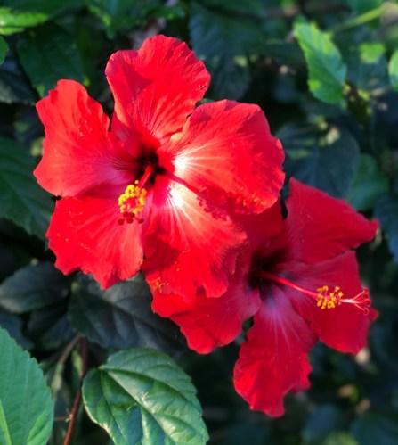 Red Hawaiian Flowers