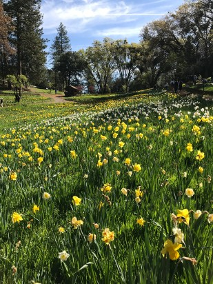 Daffodil Hill Spring Blooms