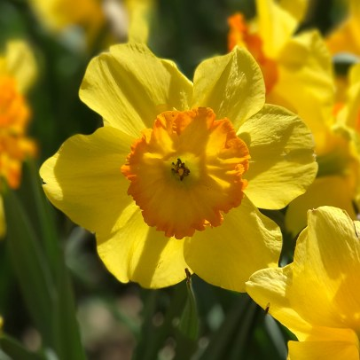 Daffodils at Daffodil Hill near Sacramento