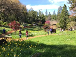 Visiting McLaughlin's Daffodil Hill in Amador County