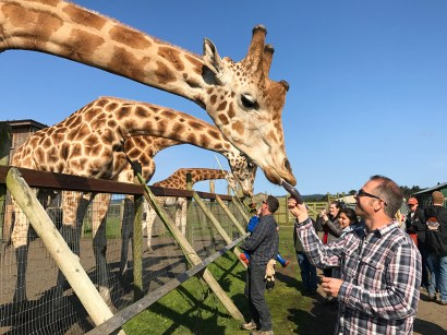 Feeding Giraffes at B Bryan Preserve