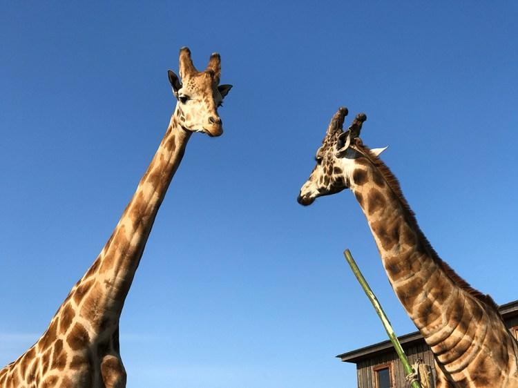Giraffes Near Fort Bragg