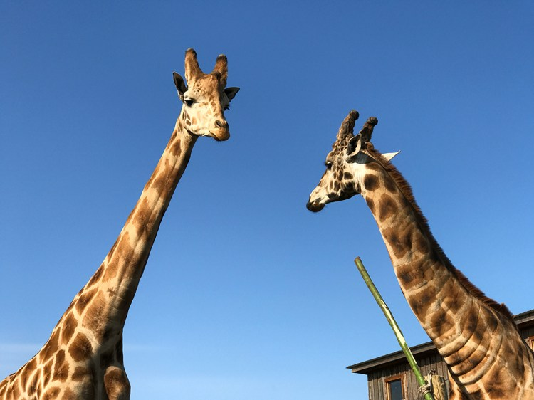 Giraffes Near Fort Bragg