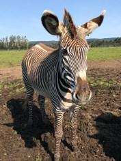 Grevy's Zebra at B Bryan Preserve in Northern California
