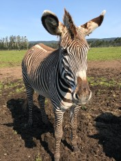 Grevy's Zebra at B Bryan Preserve in Northern California