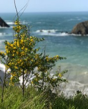 Wildflowers on the Northern California Coast