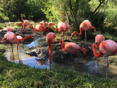 Sacramento Zoo Flamingos