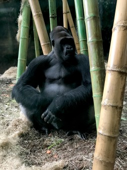 See Gorillas at the Zoo in Chicago