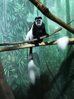 Visit a Variety of Monkeys at the Lincoln Park Zoo in Chicago