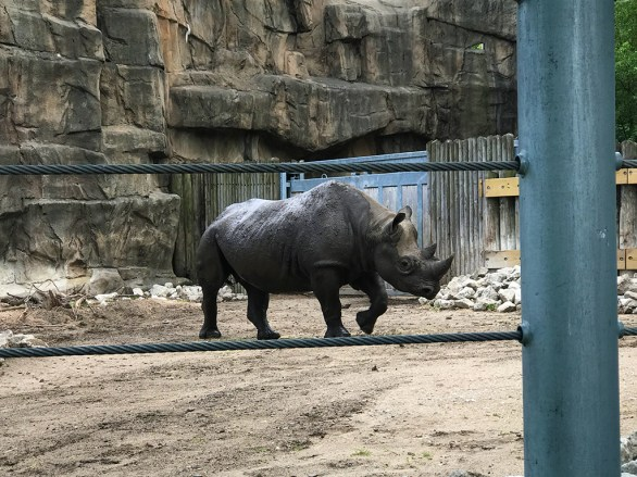 Rhinocerous at the Lincoln Park Zoo