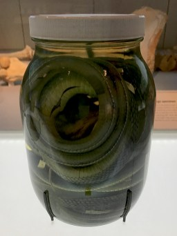 Viper Specimen Exhibit at the Field Museum in Chicago