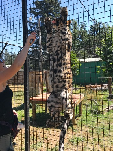 Amur Leopard Being Fed
