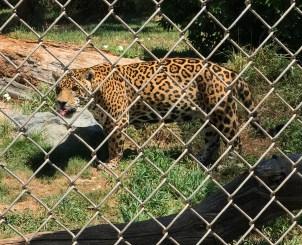 Great Cats Oregon Jaguar Walking in the Bushesaguar