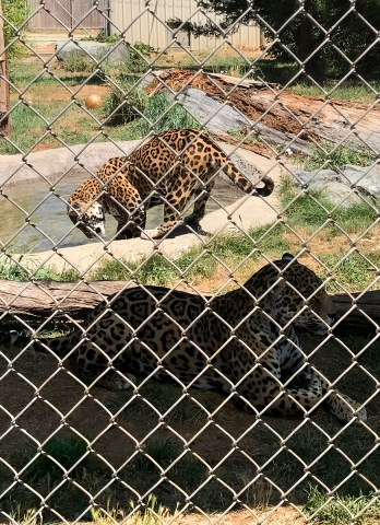Jaguars Resting in the Shade and Entering the Water