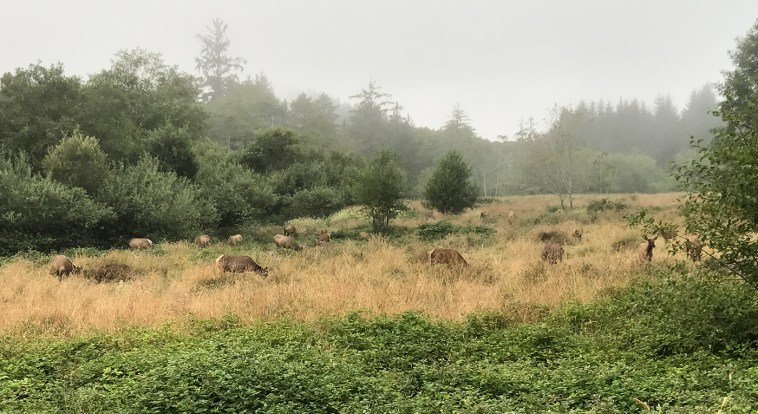 Herd of Elk in Trinidad, California
