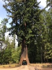 Chandelier Drive-Thru Tree in Humboldt County, California