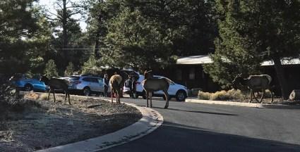 Herd of Elk in the Yavapai Lodge West Parking Lot