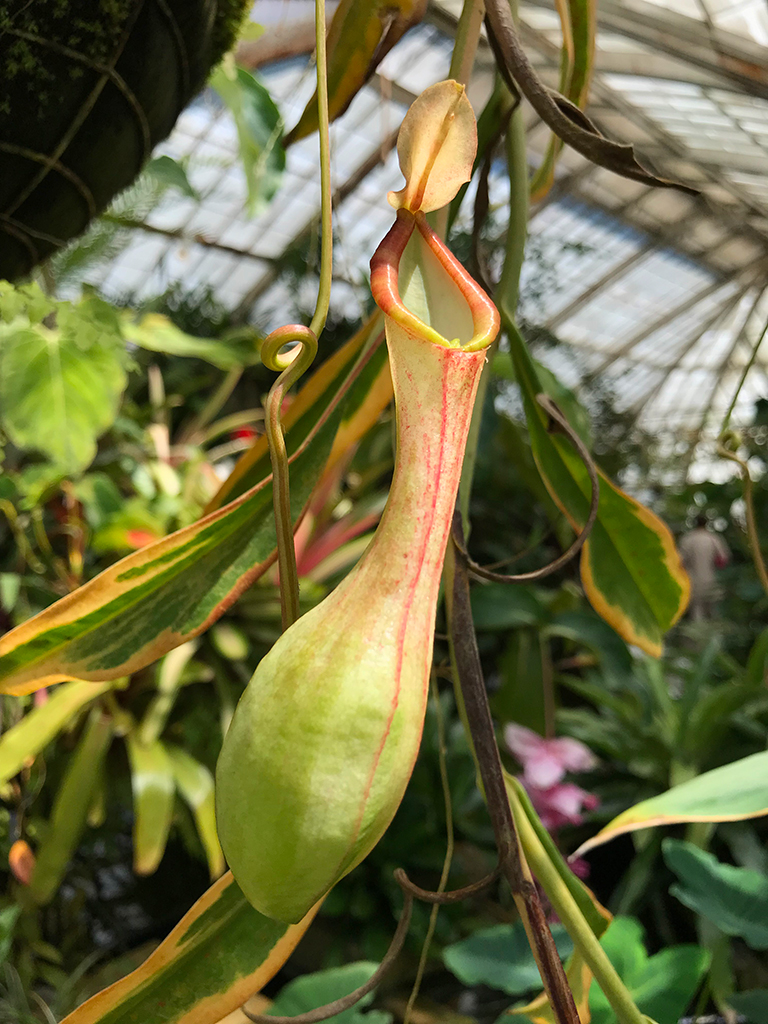 Pitcher Plants at the Conservatory of Flowers