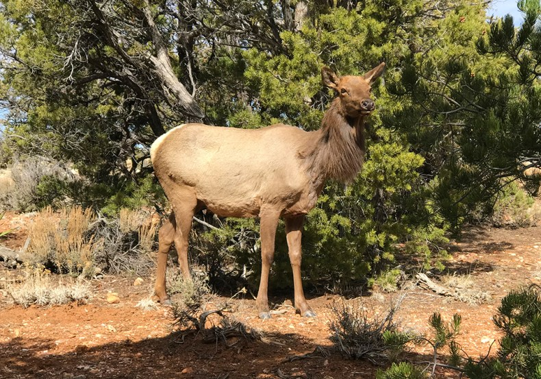 Elk at Maricopa Point in Grand Canyon National Park