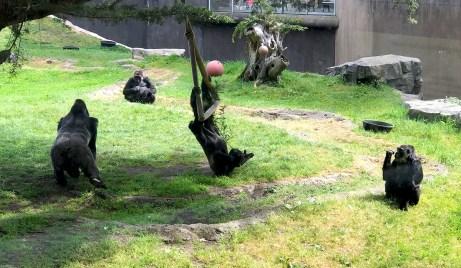 Gorillas Playing at the San Francisco Zoo