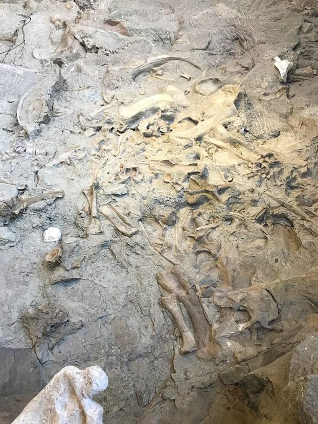 Wall Of Dinosaur Fossils