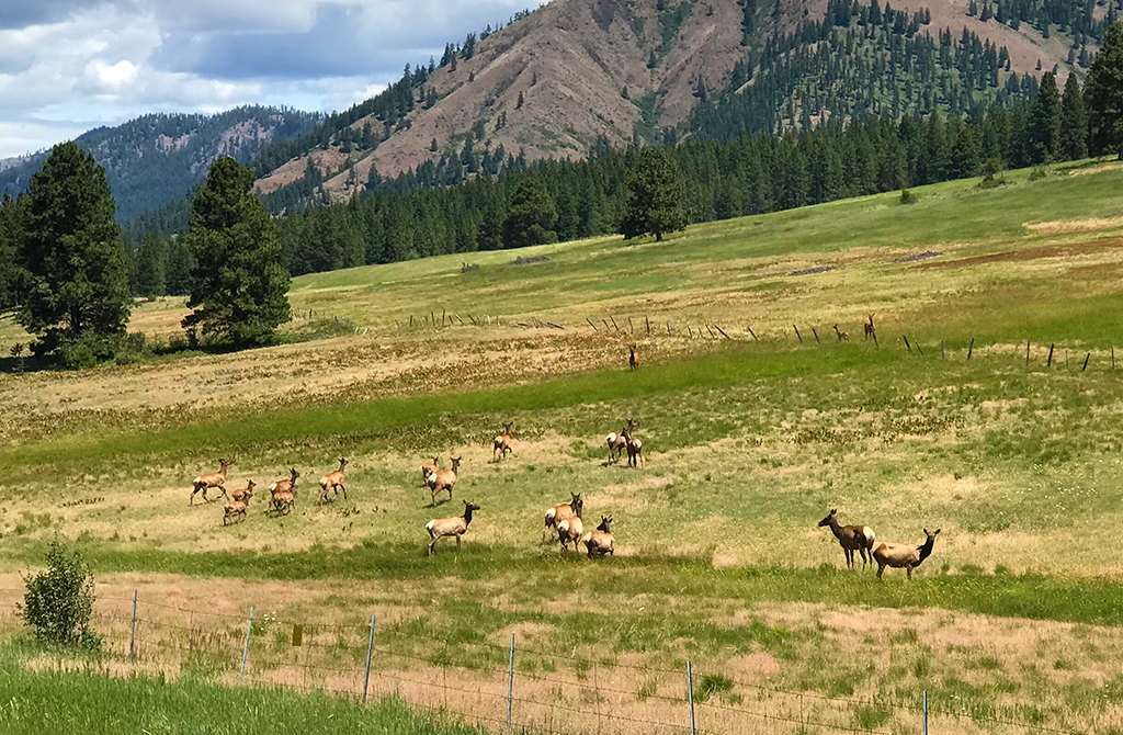 Herd Of Elk Running In A FIeld off Hwy 97 near Ellensburg, Washington