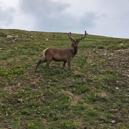 Elk Near Medicine Bow Curve on Trail Ridge Road