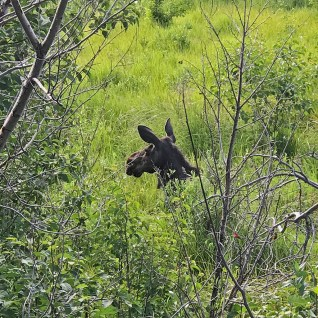 Moose at Sprague Lake in Colorado