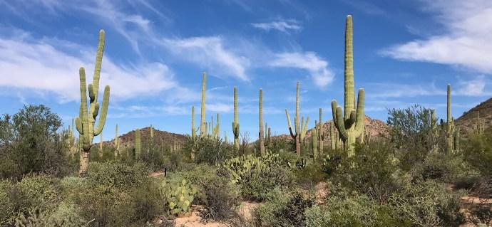 Saguaro Cacti Forest in Arizona