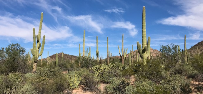 Saguaro Cacti Forest in Arizona