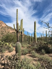 Saguaro Cacti in the Sonoran Desert-arizona