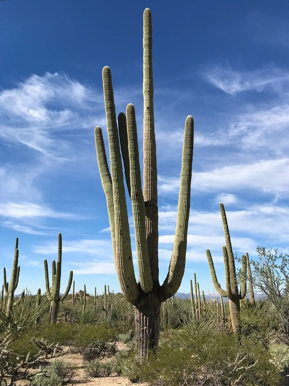 Saguaro Cacti in the Sonoran Desert of Arizona