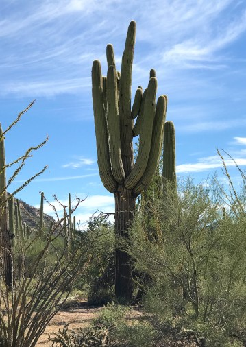 Saguaro Cactus in the Arizona Sonoran Desert