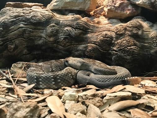 Reptile Exhibit Rattlesnake