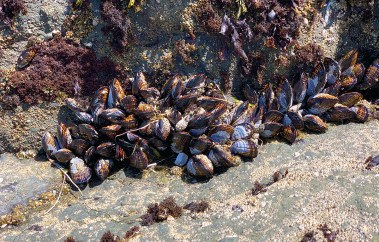 Mussels In The Dillon Beach Tidepools
