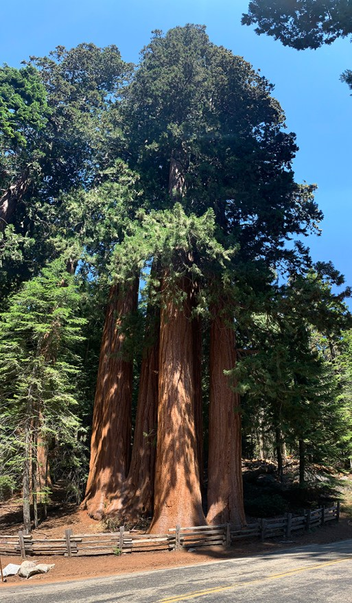 Giant Sequoias at the Lost Grove