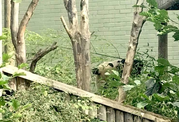 Edinburgh Zoo Giant Panda Leaves Scotland Travel Itinerary