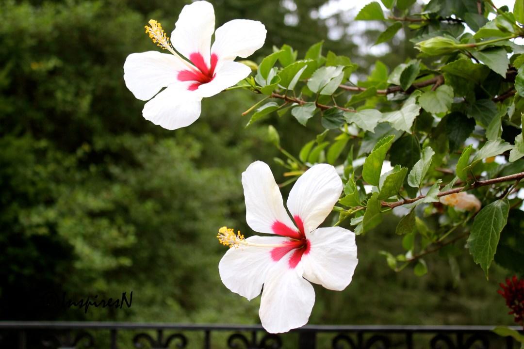 white_hibiscus 2