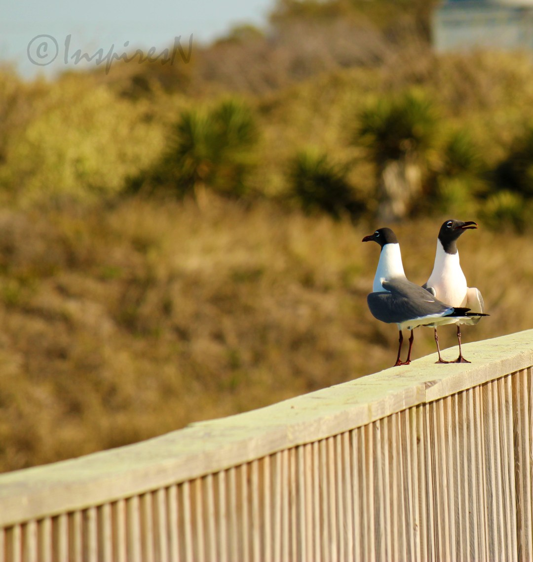 Two laughing seagulls