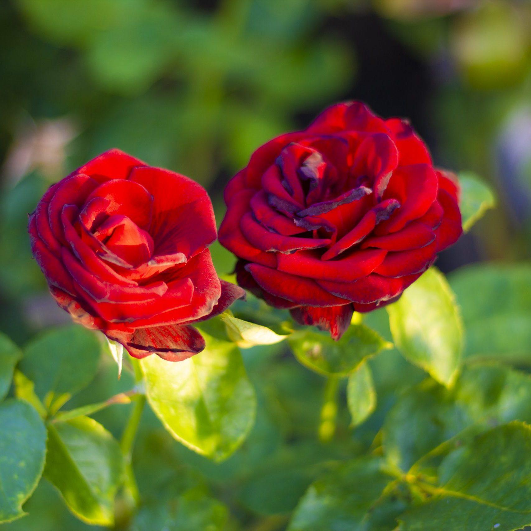 Maroon Roses