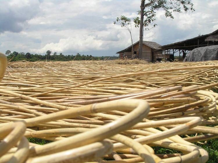jenis jenis kayu di Indonesia kayu rotan