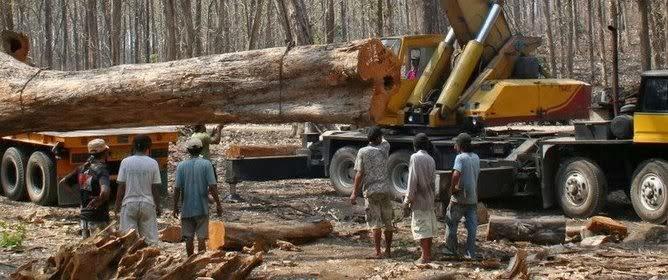 gambar kayu jati termahal di dunia