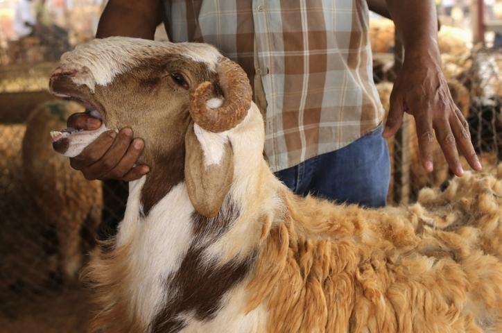 gambar kambing qurban