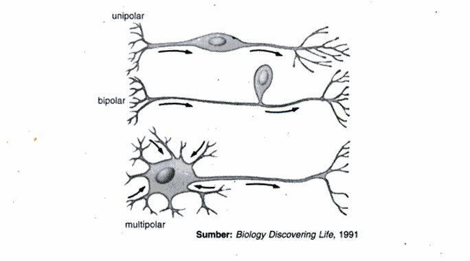 saraf unipolar bipolar dan multipolar